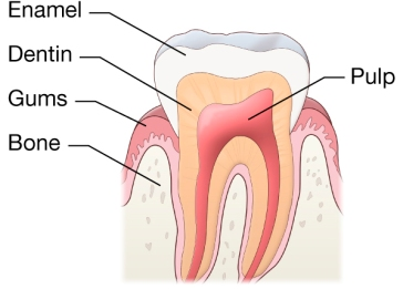 normal-tooth_1