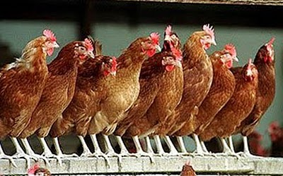 roostingchickens