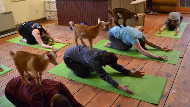 goat-yoga-2