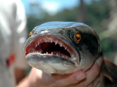 snakehead-fish