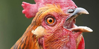chicken-surprised
