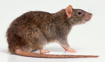 rat-for-rat-info-page-on-website-14-15