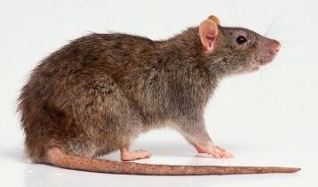 rat-for-rat-info-page-on-website-14-15