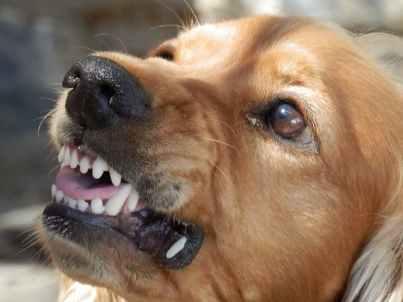angry-dog