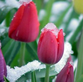 snow_tulip3_nga